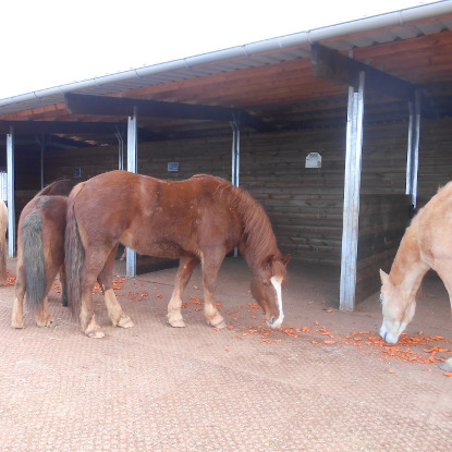 Pferde laufen matschfrei auf den Hofmeister Paddockplatten
